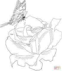 drawn rose bush realistic pencil and in color drawn rose bush