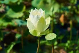 Lotus Flower Bloom - beautiful white lotus flower bloom wallpaper hd image picture
