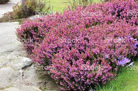 image of pink flowering heather erica flowers rock garden plants