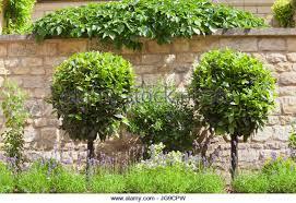 Live Topiary Tree - bay tree topiary stock photos u0026 bay tree topiary stock images alamy
