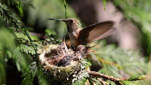 life cycle of the hummingbird sciencing
