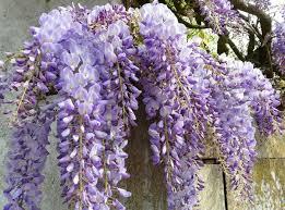 Purple Flower On A Vine - wisteria u0027caroline u0027 japanese wisteria