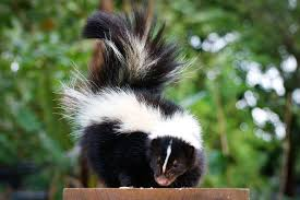 How To Get Rid Of A Skunk In Your Backyard Getting Rid Of Skunks U2014 And Skunk Smell Safebee
