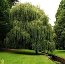 3 weeping willow trees 1 2 ft well rooted ornamental trees live
