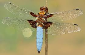 free stock photos of dragonfly pexels