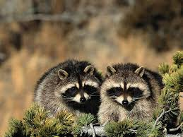 raccoon wallpapers pets cute and docile
