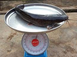 exposed n200k profit months fish farming