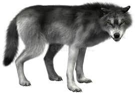 grey wolf illustration isolated wildlife stock image illustration