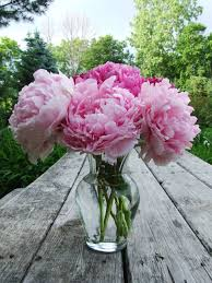 peonies flower fresh cut peony bloom june 2009 cut peony flowers from