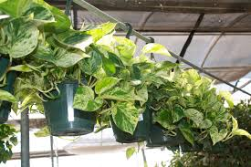 Indoor Vine Plant Top 5 Most Rewarding Houseplants For Novices Good To Grow