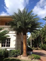 sylvester palm tree sale big sylvester date palm landscape 14 clear trunk