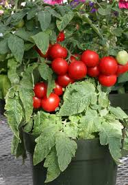 moreveg sow grow eat and enjoy quality vegetable and herb seeds