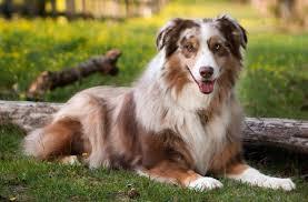 australian shepherd shedding australian shepherd dog breed information and images k9rl