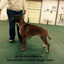 boxer dog shows 2016 kennel ay da boxer litter d ay da derjava boxers and only