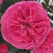 roses wholesale hot pink garden roses wholesale bloomsbythebox