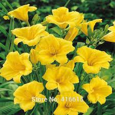 Reblooming Daylilies Aliexpress Com Buy Day Lily Daylily Seeds Hemerocallis Fragrant