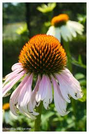 how to plant and care for coneflower a healthy life for me