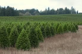 cedar grove christmas trees