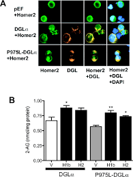 Mobilize Anti Flag A Key Role For Diacylglycerol Lipase α In Metabotropic Glutamate
