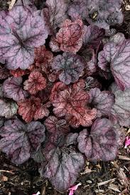 131 best heucheras images on pinterest shade garden shade
