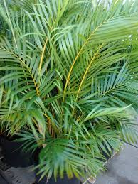 native plants in india fresh air the natural three plant air purifying system