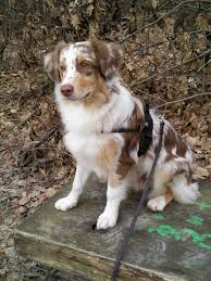 circle c australian shepherds an amazing list of different types of dogs with pictures collie