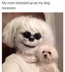 bichon frise meme dressed up dog meme on daily lol pics