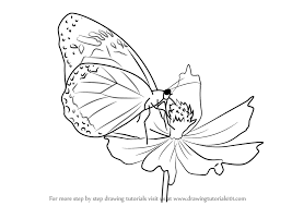 learn how to draw a butterfly on flower butterflies by