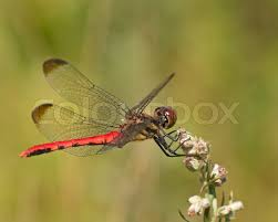 large dragonfly on small flowers of a grass stock photo