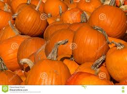 pumpkins on display for halloween in autumn stock photo image