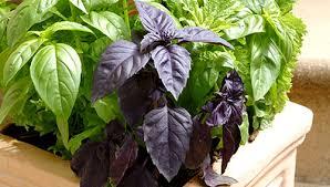 basilico in vaso malattie come seminare e coltivare il basilico sul balcone il basilico
