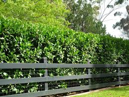 best australian native hedge plants box hedge plants hedging plants sydney melbourne brisbane
