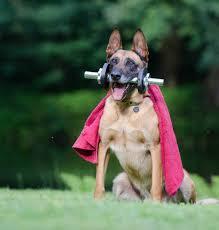 belgian shepherd vancouver dog behavior training and problem solving fidofit vancouver
