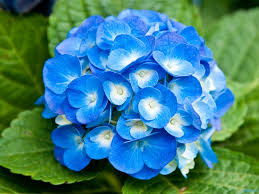22 beautiful blue flowers pictures flower meanings pictures and
