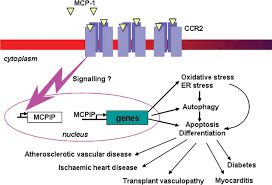 role of mcp 1 in cardiovascular disease molecular mechanisms and