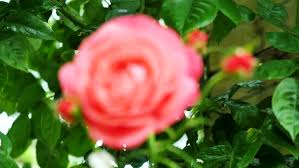 roses in a rose garden stock footage video 9361388 shutterstock
