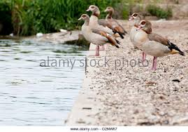 ornamental geese stock photos ornamental geese stock images alamy