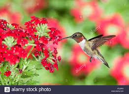 Hummingbird Flowers Ruby Throated Hummingbird Seeking Nectar From Red Buckeye Tree