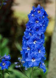 delphinium flowers delphinium larkspur flowers free photo on pixabay