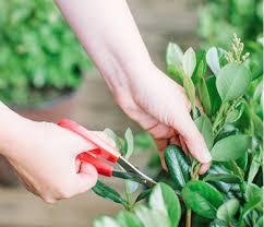 green garland southern living plants