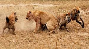 lions documentary real confrontation lions vs hyenas national