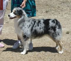 australian shepherd water australian shepherd blue merle love this dog things i love