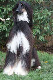 afghan hound tattoo 110 best afghan hound images on pinterest afghan hound afghans
