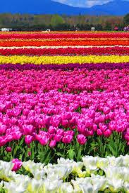 Netherlands Tulip Fields Best 20 Tulip Fields Ideas On Pinterest Tulip Festival Dutch