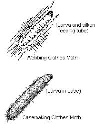 clothes moths entomology