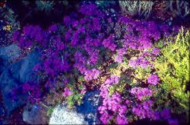 Blue And Purple Flowers Ed U0027s Favorites Verbena
