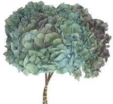dried hydrangeas dried hydrangeas large hamburgs 50 heads dried flowers r us