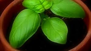 Growing Basil Bonnie Plants by Different Types Of Basil Plants Their Features And Uses Dwarf