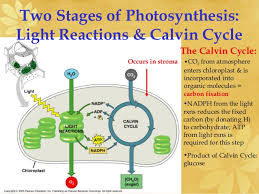 The Light Reactions Of Photosynthesis Use And Produce Ap Biology Ch 8 Photosynthesis Light Reactions