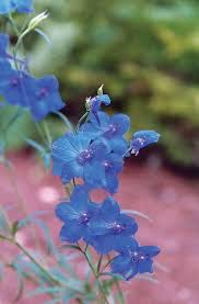 790 best blue blooms images on pinterest blue flowers plants